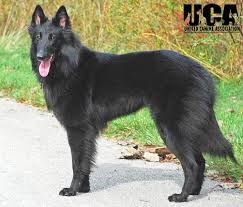 belgian sheepdog breeders belgian sheepdog breed information and pictures united canine