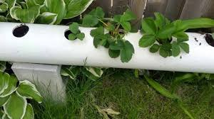 pvc pipe strawberry planter youtube