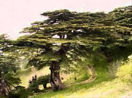 plant a cedar tree in the soil of lebanon wmv