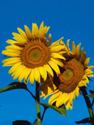 sunflower varieties for all occasions rodale u0027s organic life