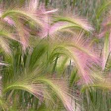 best 25 foxtail grass ideas on barley seeds