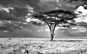 acacia tree meaning about acacia tree