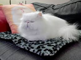 got a thermal mat for my already spoiled persian cat justviral net