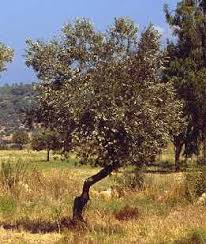spice pages olive olea europaea