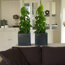 philodendron decorum company philodendron products products the brand