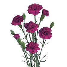 purple carnations carnations spray carnations hilverda kooij