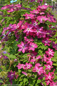viva polonia u0027 clematis sp proven winners