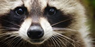 raccoon costume spirit halloween raccoon spirit image gallery hcpr