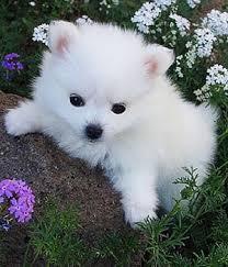 american eskimo dog tricks american eskimo dog small dog breeds dbcentral