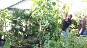 fall gardening pt3 3 diging up the angel trumpet brugmansia