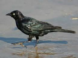 Nc Backyard Birds Backyard Bird Identification Blackbirds Cardinal Starling Crows