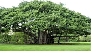 what is the national tree of india quora