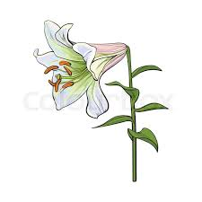 single hand drawn white lily flower with stem and leaves side