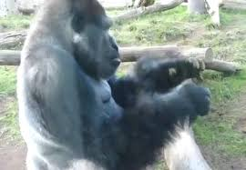 Funny Gorilla Meme - lol funny meme gorilla eats his own poop video