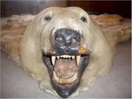 Taxidermy Bear Rug 8 U00279