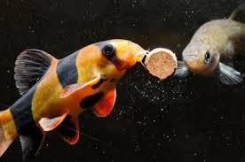 ornamental fish feed consumption market analysis growth by top