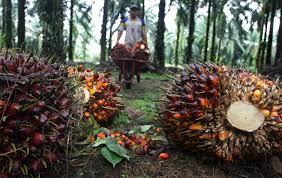 Minyak Kelapa Sawit Terkini di jambi harga cpo turun rp 291 per kilogram