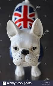 Boston Terrier Flag Bulldog With Uk Flag Stock Photos U0026 Bulldog With Uk Flag Stock