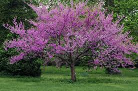 tree with purple flowers pink flowering trees
