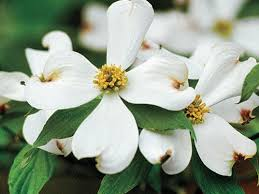 dogwood flowers the complete guide to flowering dogwoods southern living