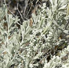 rocky mountain native plants artemesia tridentata asteraceae sagebrush botany study board