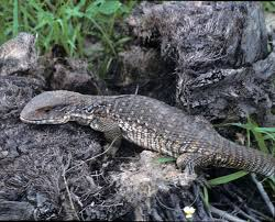 Big Lizard In My Backyard 5 Tips For Keeping The Savannah Monitor