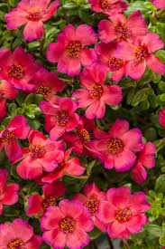 24 best phlox images on pinterest flowers flowers garden and
