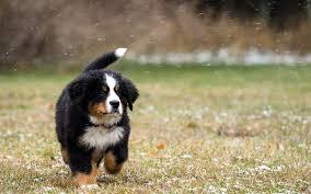 bernese mountain dog puppy wallpaper saveourpuppy com