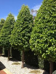 ornamental pear cleveland select tree sales