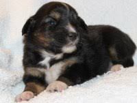 australian shepherd up for adoption search locally for miniature australian shepherd puppies and dogs