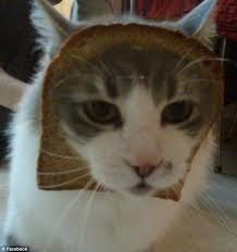 Cat Toast Meme - has the internet completely lost it dressing up cats with bread is