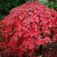 acer palmatum dissectum weeping japanese maple trees
