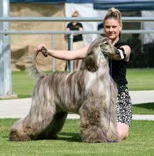 afghan hound puppies ohio brindle afghan afghan hounds pinterest afghans afghan hound