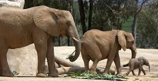 elephant san diego zoo safari park