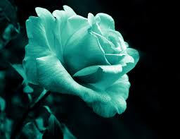 teal roses midnight flower in teal photograph by jennie schell