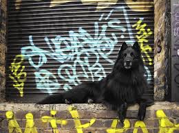 belgian sheepdog art 40 best belgian sheepdog images on pinterest belgian shepherd