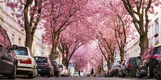cherry blossom trees around the world explode in spectacular