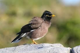introduced birds birds in backyards