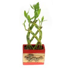 braided lucky bamboo trellis live plant with dragon pot u2013 nw