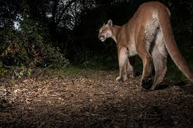 phantom of the forest could the cougar again haunt eastern u s