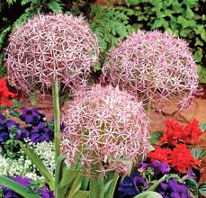 all about ornamental alliums a planting guide for rich color