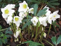 helleborus niger christmas rose world of flowering plants