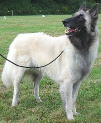 belgian sheepdog height belgian tervueren dog herding dog breeds from the online dog