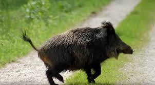 how to get rid of wild pigs repel boar protect your home u0026 yard