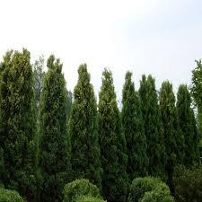 onlineplantcenter 5 gal 3 ft tall emerald green arborvitae shrub