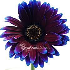 Gerbera Daisies Bulk Flowers Fresh Eggplant Purple Gerbera Daisies Tinted Dyed