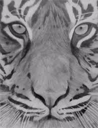 tiger face sketch images how to sketch a tiger youtube drawing
