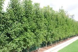 pyrus capital da ara ağaç plants