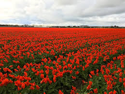 finding the best tulip fields in the netherlands tips for