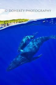 best 25 humpback whale migration ideas on pinterest white